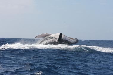 Baleine à bosse (c)Claire Garrigue IRD Projet MARACAS.jpg