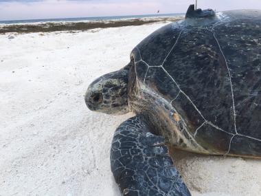 Au total, 13 tortues vertes ont été balisées lors de la dernière mission de l'Amborella aux Chesterfield et à d'Entrecasteaux (c) DAM