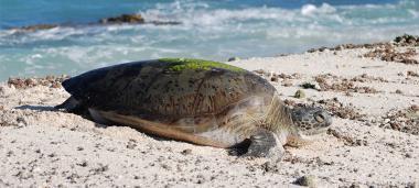 Depuis 2008, il est interdit de pêcher la tortue au sein du parc de la mer de Corail et le requin depuis 2013. Ici, une tortue verte.jpg