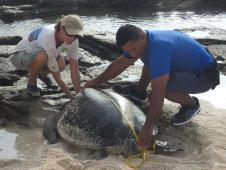 Entrecasteaux, green turtle tracking, DMA FES.jpg