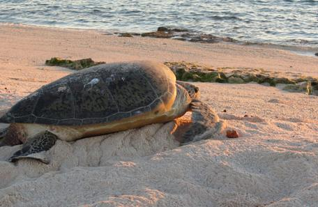 Atolls d'Entrecasteaux ile huon tortue verte, Jean Francois Butaud conservation international