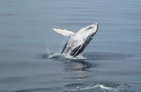 Baleine à bosse, DAM SPE