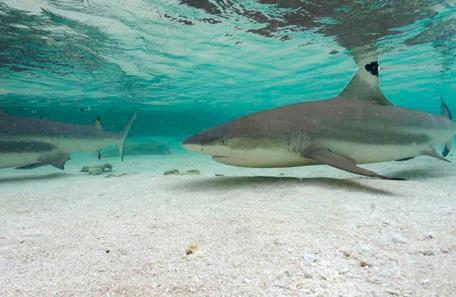Requin pointe noire_,Nicolas Petit