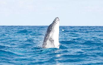 Humpback whale, Opération Cétacés