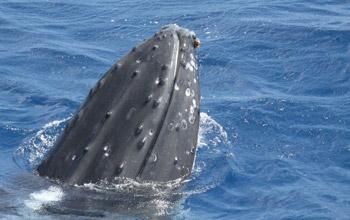 Rostre de baleine à bosse, Claire Garrigue, IRD