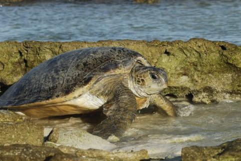 Entrecasteaux, tortue verte ©Nicolas Petit