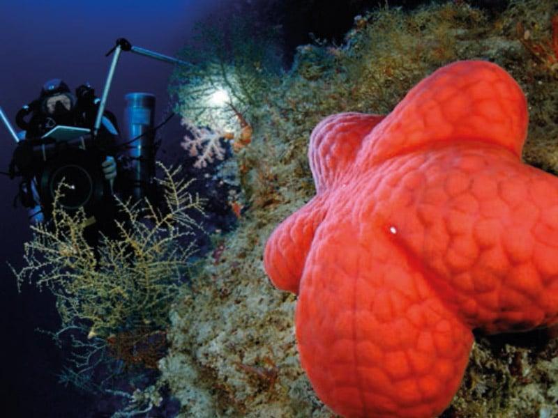 Une étoile de mer encore inconnue pour la science parmi les gorgones. (c) Laurent Ballesta, L'œil d'Andromède.