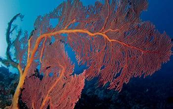 Gorgone on the Pristine reef, (c) Jean-Michel Boré, IRD.