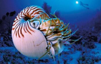 Le nautile endémique de Nouvelle-Calédonie (macomphalus) Laurent Ballesta / L'œil d'Andromède