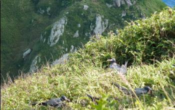 Oiseaux, île Hunter, DAM/SPE