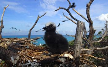 Black noddy chick, DAM SPE