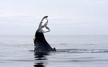 Baleine à bosse, (c) Opération Cétacés.