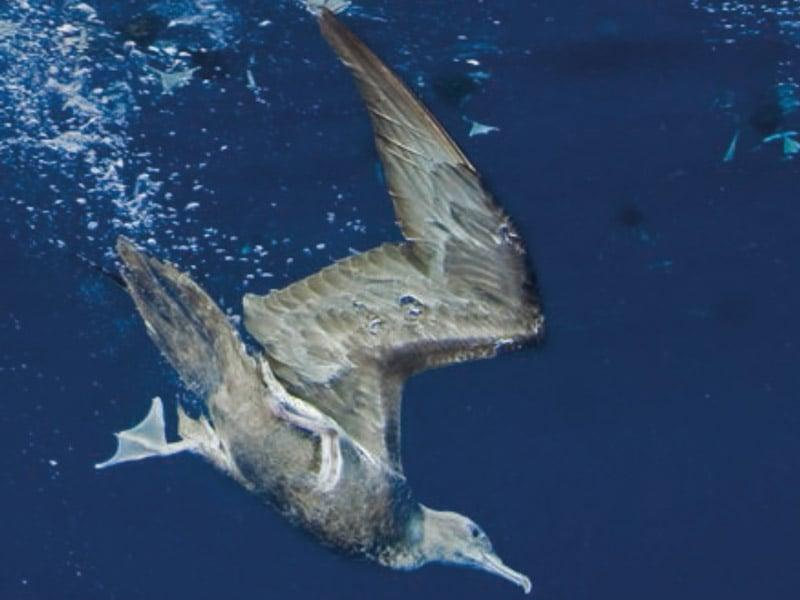 Puffin du Pacifique à la recherche de proies. La croissance et la survie des poussins dépendent de cette quête de nourriture dans les milieux océaniques. (c) Thomas Vignaud.
