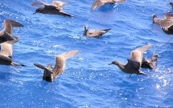 Des Puffins en haute mer, DAM SPE