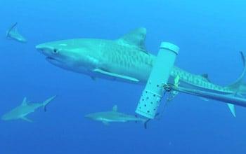Requin tigre et requins gris, Tom Letessier, UWA
