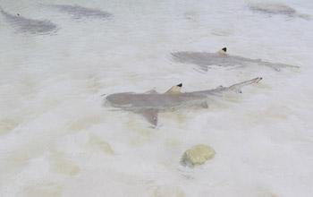 Blacktip shark , Chesterfield plateau, Théa Jacob, WWF