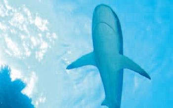Requin, Eric Clua, CPS-CRISP