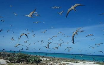 Sooty Terns taking off, Chesterfield plateau, (c) Théa Jacob - WWF