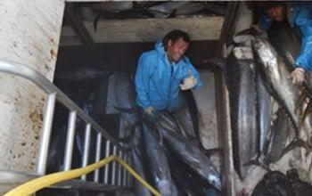 Le thon blanc reste l'espère majoritairement pêchée  (près de 60% de la production), DAM SPE.