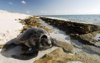 Tortue verte, atolls d'Entrecasteaux, Nicolas Petit