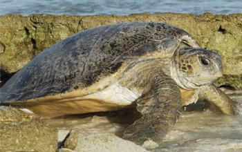 Green turtle, Entrecasteaux atolls, Nicolas Petit