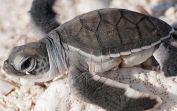 Baby turtle, Entrecasteaux Atolls, Pierre Bachy, SCO