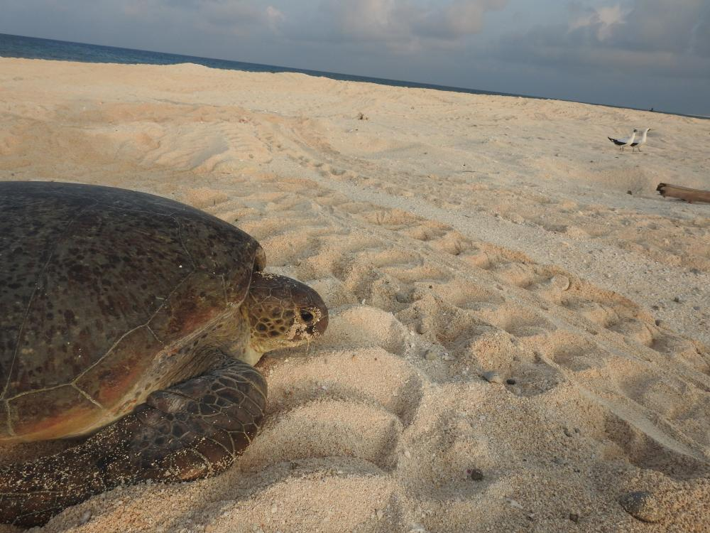 Entrecasteaux, green turtle at Huon islet, DMA FES.jpg