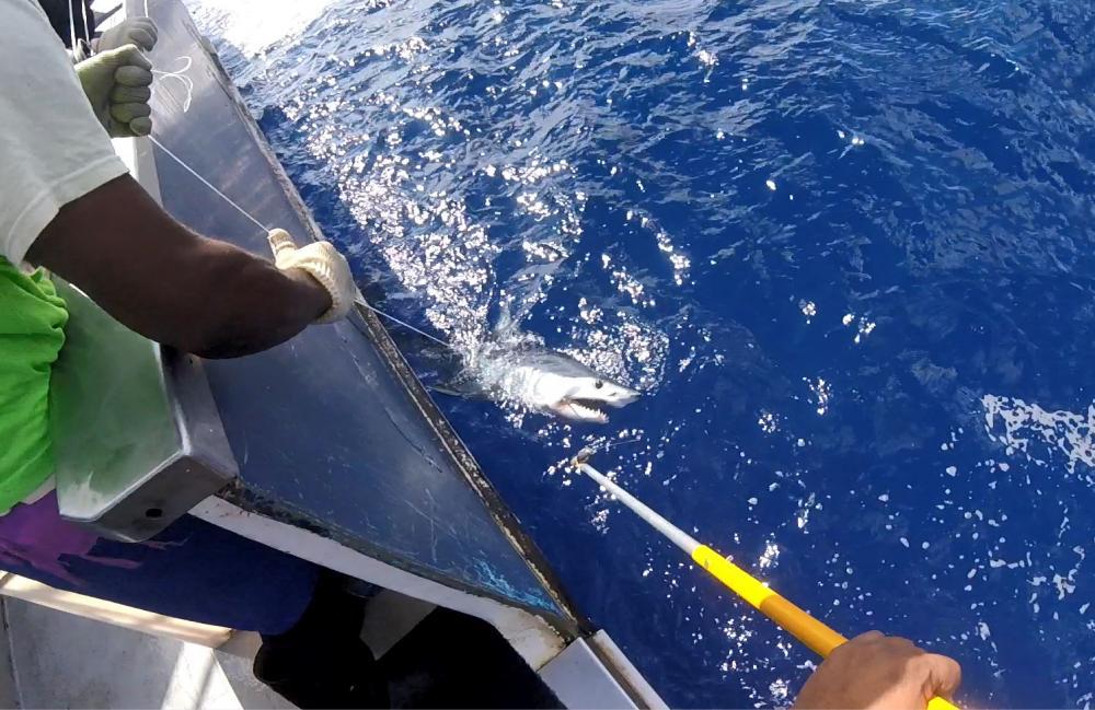 Marquage en haute mer (c)Programme des observateurs des pêches en NC