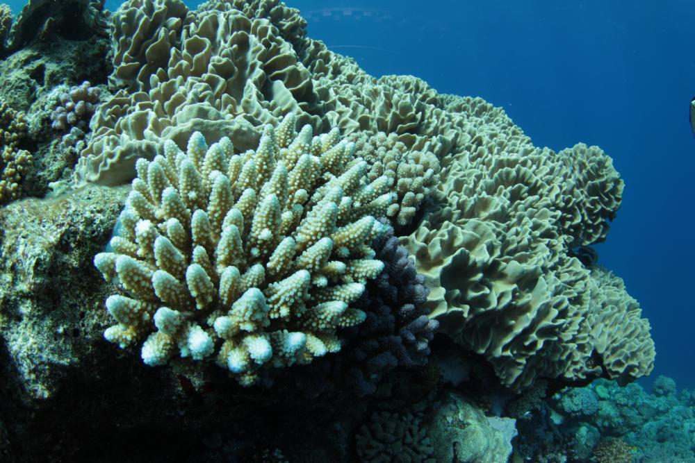 Récif corallien, mission Prisitine, septembre 2012-Jean-Michel Boré IRD.jpg